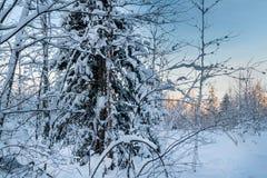 Schneebedeckter Wald des Winters unter dem blauen Himmel Stockbild