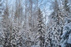 Schneebedeckter Wald des Winters unter dem blauen Himmel Lizenzfreies Stockfoto