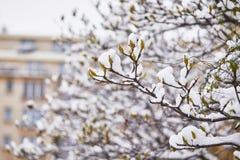 Schneebedeckungsniederlassungen des Magnolienbaums mit den Blumenknospen Stockbilder