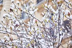Schneebedeckungsniederlassungen des Magnolienbaums mit den Blumenknospen Stockfotos