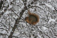 Schneeeichhörnchen Stockfotos