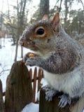Schneeeichhörnchen Lizenzfreie Stockbilder
