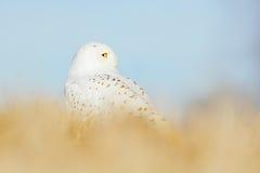 Schneeeule in der Wiese mit blauem Himmel Vogelschnee-eule mit den gelben Augen, die im Gras, in der Szene mit klarem Vordergrund Lizenzfreies Stockfoto