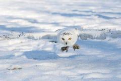 Schneeeule, die gerade über den Boden fliegt Lizenzfreie Stockfotos