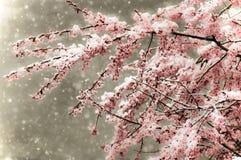 Schneefälle auf Cherry Blossoms stockbilder