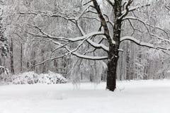 Schneefälle im Park, Schnee umfassten große Baumlandschaft Schönes Winterwetterkonzept Lizenzfreies Stockbild