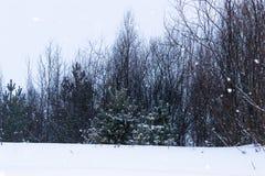Schneefälle am Rand des Waldes, in dem Kiefern, Weiden und Birken wachsen, verschneiter Winter stockbilder