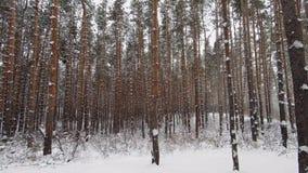 Schneefälle unter den Kiefern im Winterwald stock footage