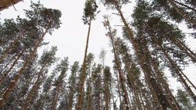 Schneefälle unter den Kiefern im Winterwald stock video