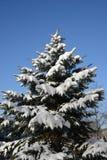 Schneefichte stockfotos
