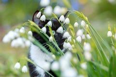 Schneeflocke blüht Leucojum-Aestivum, das im Frühjahr Garten mit Schwarzweiss-Katze mit grünen Augen auf der Rückseite wächst stockbild