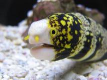 Schneeflocke Moray Eel Stockfoto
