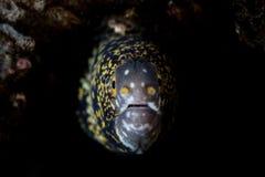 Schneeflocke Moray Eel Underwater Stockfoto