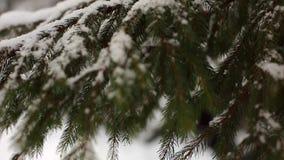 Schneeflocken, die in Zeitlupe auf den Fichten- und Kieferniederlassungen umfasst mit Schnee fallen Wintertag im Tannenbaumwald stock footage