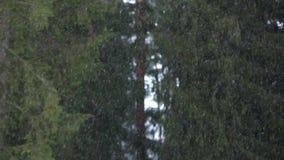Schneeflocken im Kiefernwald Stockfoto
