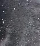 Schneeflockennahaufnahme auf Pelz Wintermantel des flaumigen Pelzes des Tieres in den Schneeflocken stockbilder