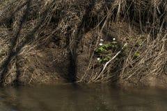 Schneeglöckchen auf dem Ufer eines Frühlingsbaches stockfotos