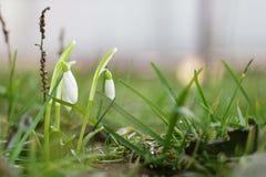 Schneeglöckchen auf einem grünen Hintergrundsommer Stockfotos
