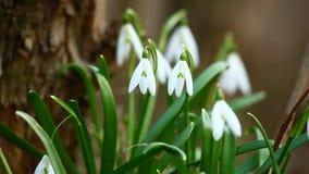 Schneeglöckchen blüht im Frühjahr stock video footage