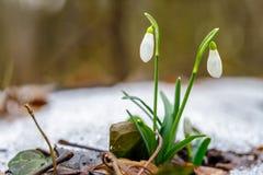 Schneeglöckchen blüht im Frühjahr Waldnahe hohe Galanthus-nivalis Lizenzfreie Stockfotografie