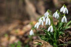 Schneeglöckchen blüht im Frühjahr Waldnahe upGalanthus nivalis Lizenzfreie Stockfotografie