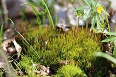 Schneeglöckchen in den Waldfrühlingsblumen Frühlingswald, der in den Waldrest und -blumen geht Sonniger Tag Sonniger Morgen des F stockfotografie