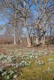 Schneeglöckchen in der Blüte und in den bloßen Bäumen Lizenzfreie Stockfotografie