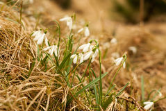 Schneeglöckchen in der Natur Lizenzfreie Stockfotografie