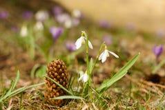 Schneeglöckchen in der Natur mit Kiefernkegel Stockfotografie