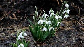 Schneeglöckchen die ersten Frühlingsblumen blühten Anfang März stock video