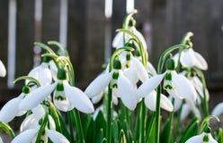 Schneeglöckchen früh setzen im Frühjahr Zeit fest Lizenzfreie Stockfotografie
