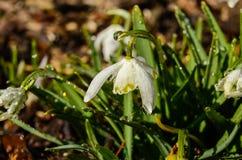Schneeglöckchen im Frühjahr Lizenzfreies Stockfoto