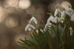 Schneeglöckchen im Frühjahr mit bokeh Lizenzfreies Stockbild