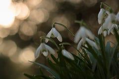 Schneeglöckchen im Frühjahr mit bokeh Lizenzfreie Stockfotos