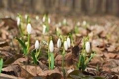 Schneeglöckchen im Holz eines Frühlinges Stockfotografie