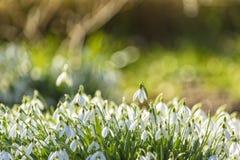 Schneeglöckchen im Sonnenlicht stockfotografie