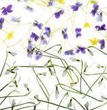 Schneeglöckchen und Veilchen lokalisiert auf einem weißen Hintergrund Stockbilder