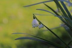 Schneeglöckchenblume Lizenzfreie Stockbilder