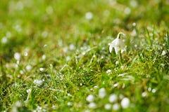 Schneeglöckchenblume mit funkelndem Gras Stockfotos