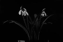 Schneeglöckchenblumen gespritzt mit Wasser Lizenzfreies Stockbild