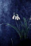Schneeglöckchenblumen gespritzt mit Wasser Lizenzfreie Stockfotos