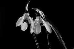 Schneeglöckchenblumen gespritzt mit Wasser Lizenzfreie Stockbilder