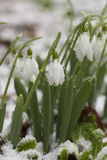 Schneeglöckchenblumen im Schnee nach Frühlingsfrösten Stockfotografie