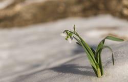 Schneeglöckchenblumen und -himmel über Schnee Stockfoto