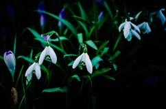 Schneeglöckchenfrühlingsblume Stockfoto
