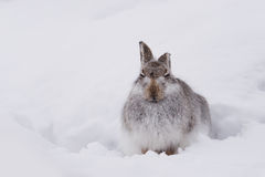 Schneehase Lepus Timidus Lizenzfreies Stockbild