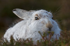 Schneehase Lepus Timidus Stockfotografie