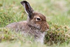 Schneehase Lepus timidus in den Hochländern von Schottland Schutz in einem ` Form ` nehmend, das einfach eine flache Krise im Th  Stockfoto