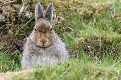 Schneehase Lepus timidus in den Hochländern von Schottland Schutz in einem ` Form ` nehmend, das einfach eine flache Krise im Th  Lizenzfreie Stockbilder