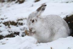 Schneehase Lepus timidus in seinem weißen Mantel des Winters in einem Schneeblizzard hoch in den schottischen Bergen lizenzfreie stockfotos
